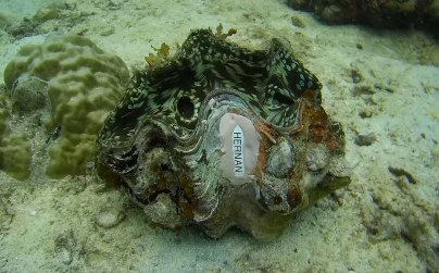 It's personal. Giant clams used in the project are tagged to help keep track of their growth