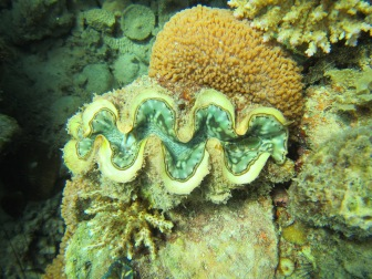 Important species. Giant clams are beneficial to coral reefs and act as food, shelter, and can help increase coral growth